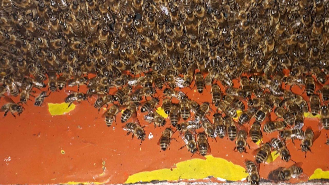Dierenpolitie neemt half miljoen bijen in beslag uit Veldhoven