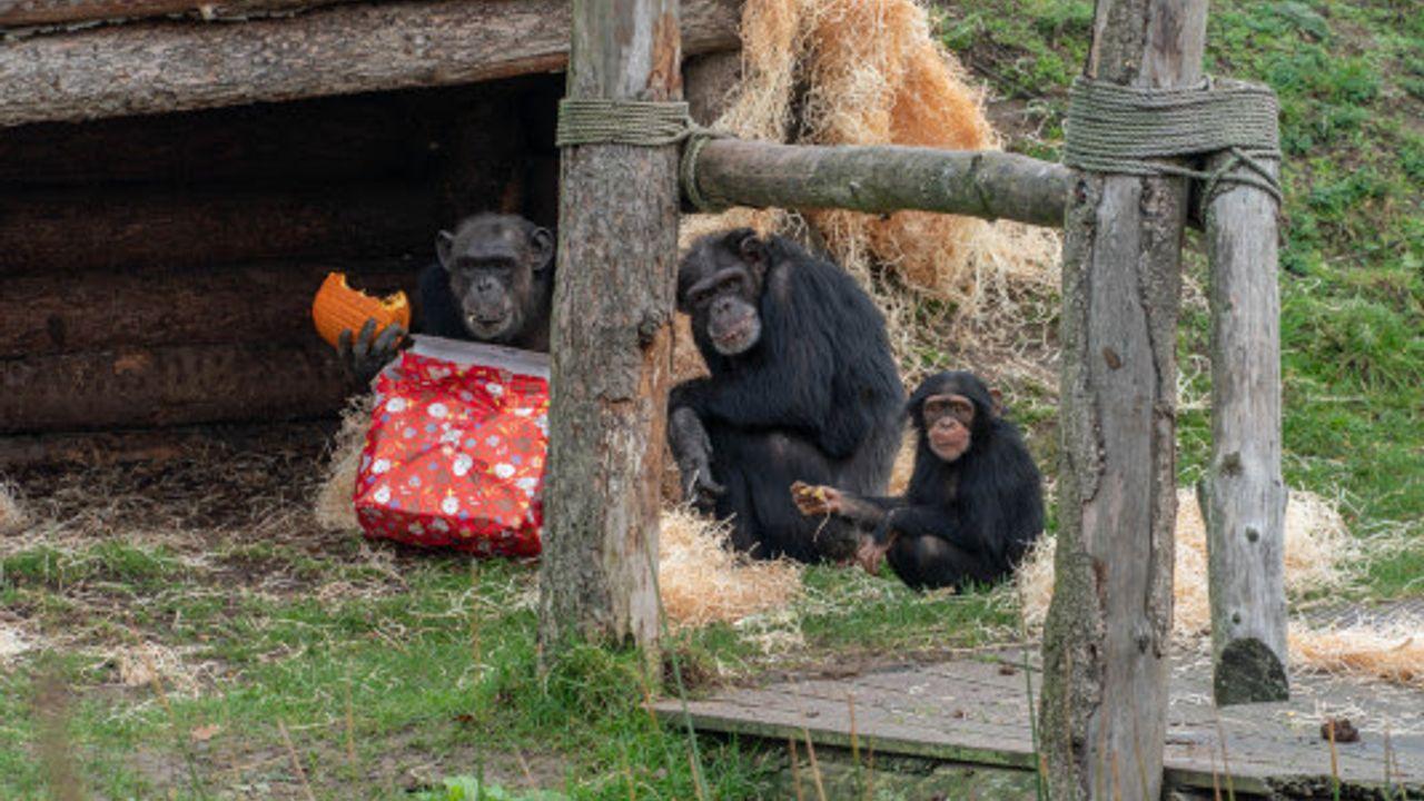 De Sint bezoekt Dierenrijk: cadeautjes voor de chimpansees