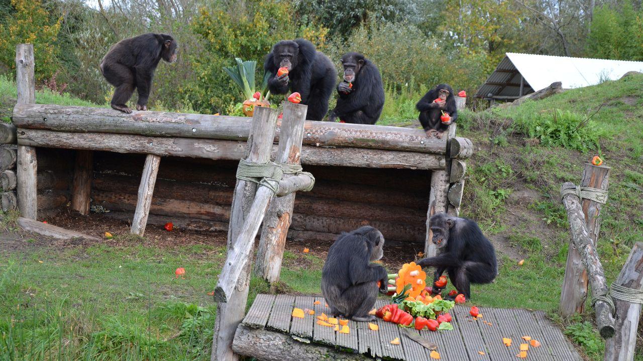 Halloweentraktatie voor chimpansees in Dierenrijk