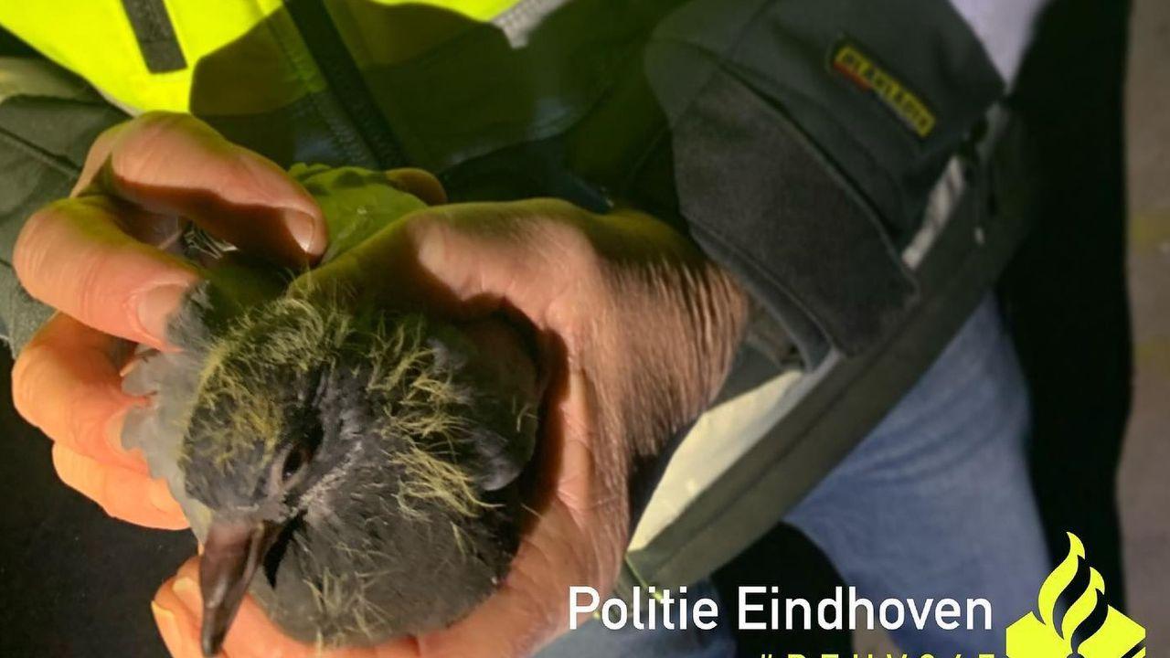 Uitgehongerde duiven gered uit pand Stratumseind