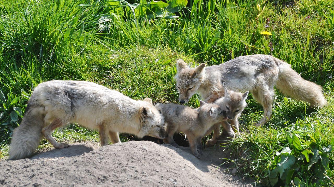 Twee steppevossen geboren in Dierenrijk