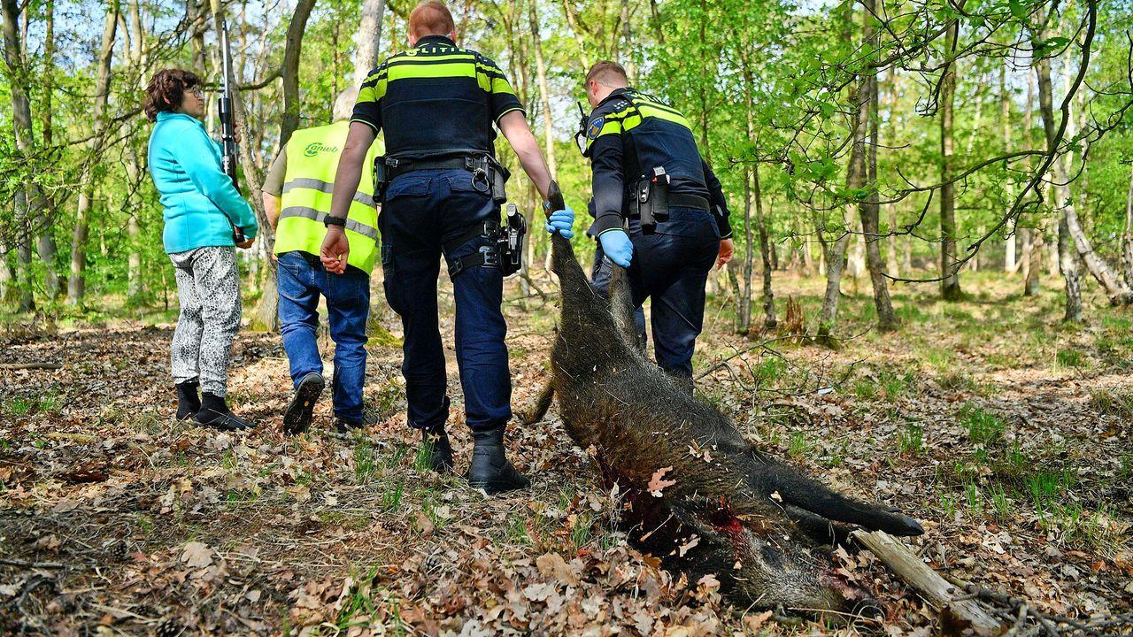 Gewond everzwijn afgemaakt door jager in Valkenswaard
