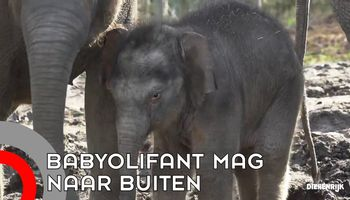 Babyolifant Dierenrijk mag naar buiten