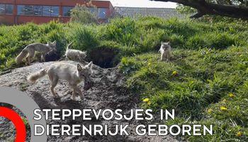 Twee steppevossen geboren